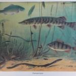 Schoolplaat - Zoetwatervissen